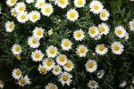 Thumbnail Oxeye Daisies or Marguerite Leucanthemum vulgare
