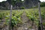 Thumbnail Grape vines in a vineyard, Bad Honnef, Drachenfels, North Rhine-Westphalia, Germany, Europe