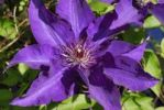 Thumbnail Large flowered, purple Clematis Clematis, Upper Bavaria, Bavaria, Germany, Europe