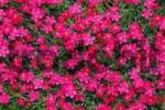 Thumbnail Maiden Pink Dianthus deltoides in full bloom, garden type, ornamental plant