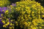 Thumbnail Basket of Gold Goldentuft or Golden Alyssum Alyssum saxatilis, Aubretia, Whitewell Gem Aubrieta-Hybride, Cascade Purple Aubrieta cultorum, Schleswig-Holstein, Germany, Europe