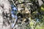 Thumbnail Baboon Papio climbing a tree, Okavango Delta, Botswana, Africa