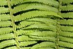Thumbnail Fern leaves
