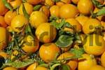 Thumbnail picked oranges with leaves, Costa Blanca, Spain