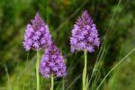 Thumbnail Pyramidal Orchid Anacamptis pyramidalis