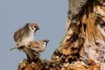 Thumbnail Tree Sparrows Passer montanus, mating