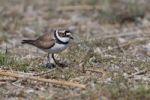 Thumbnail Little Ringed Plover Charadrius dubius, bird