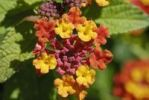 Thumbnail Spanish Flag Lantana camara, blossoms