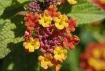 Thumbnail Spanish Flag Lantana camara, blossoms