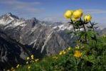 Thumbnail Globe-flower Trollius europaeus in front of the Lechtaler Alps, Elmen, Lechtal Valley, Tirol, Austria, Europe
