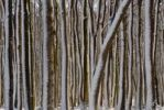 Thumbnail Snow-covered tree trunks in a wintery deciduous forest, Germany
