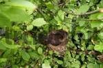 Thumbnail Blackbird in the nest