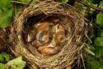 Thumbnail Blackbird nest
