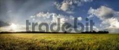 Thumbnail Barley field, panoramic view at sunset, clouds, Adelschlag, Bavaria, Germany, Europe