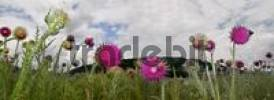 Thumbnail Musk Thistles Carduus nutans and bumblebees, panoramic view