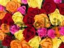 Thumbnail Gelbe, orangene, rosa und dunkelrote Rosen von oben