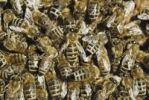 Thumbnail Honey Bees Apis mellifera var. carnica ligustica on honeycomb