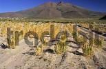Thumbnail quinoa field near San Juan del Rosario at Salar de Chiguana, Bolivia