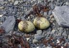 Thumbnail Nest, eggs of Arctic Tern Sterna paradisaea, dried sea weed, Columbia Bay, Pacific Coast, Chugach National Forest, Prince William Sound, Alaska, USA