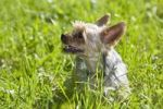 Thumbnail Yorkshire Terrier sitting in grass