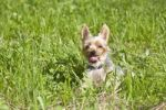 Thumbnail Yorkshire Terrier sitting in grass, portrait