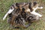 Thumbnail Cat lying down while suckling kittens