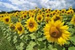 Thumbnail Sunflowers growing in a field in Lower Austria, Austria, Europe