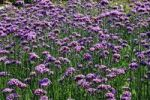 Thumbnail Flowering Argentinian Vervain, Butterfly Vervain, Garden Vervain or Purpletop Vervain Verbena bonariensis