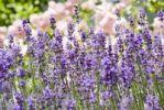 Thumbnail Lavender Lavandula