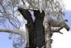 Thumbnail Detail of a fire-damaged old eucalyptus tree near Melrose, South Australia, Australia