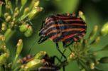 Thumbnail Striped Shield Bug Graphosoma lineatum