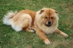 Thumbnail The Chow-Chow dog named Ruede lying in the grass