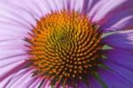 Thumbnail Eastern Purple Coneflower Echinacea purpurea