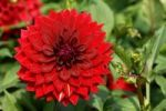 Thumbnail Dahlia Dahlia with red flowers, Neusless, Upper Franconia, Bavaria, Germany, Europe