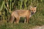 Thumbnail Red Fox Vulpes vulpes in front of a cornfield