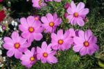 Thumbnail Flowering Mexican Aster or Garden Cosmos Cosmos bipinnatus