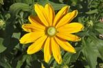Thumbnail Flowering Black-Eyed Susan Rudbeckia hirta cultivar