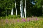 Thumbnail Birch forest with lupines, Lake Peipus, Peipsi jaerv, Estonia, Baltic States, Northeast Europe