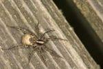 Thumbnail Wolf Spider Xerolycosa nemoralis