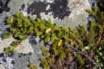 Thumbnail Creeper, moss, lichen, rocks, Dovrefjell National Park, Norway, Scandinavia, Europe