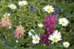 Thumbnail Lupins, oxeye daisy or marguerite Leucanthemum vulgare, Lofoten, Norway, Scandinavia, Europe