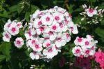 Thumbnail Blooming Garden Phlox, Summer Phlox Phlox paniculata