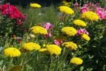 Thumbnail Flowering Fernleaf Yarrow Achillea filipendulina and Phlox Phlox paniculata in the back