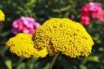 Thumbnail Flowering Fernleaf Yarrow Achillea filipendulina and Phlox Phlox paniculata in the back