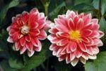 Thumbnail Dahlia Dahlia, blossoms, Hever, England, Great Britain, Europe