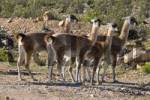 Thumbnail herd of guanacos, Atacama desert, Chile