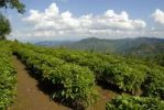 Thumbnail Tea plants in rows in a mountain landscape, Phongsali Province, Laos, South East Asia