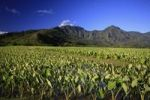 Thumbnail Taro fields in the Hanalei valley on the north coast of Kauai Island, Hawaii, USA