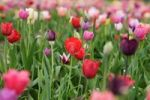 Thumbnail Field of Tulips Tulipa, flowers to cut yourself, near Heidelberg, Baden-Wuerttemberg, Germany, Europe