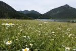 Thumbnail Meadow at Lake Weitsee, Chiemgau Alps, Bavaria, Germany, Europe